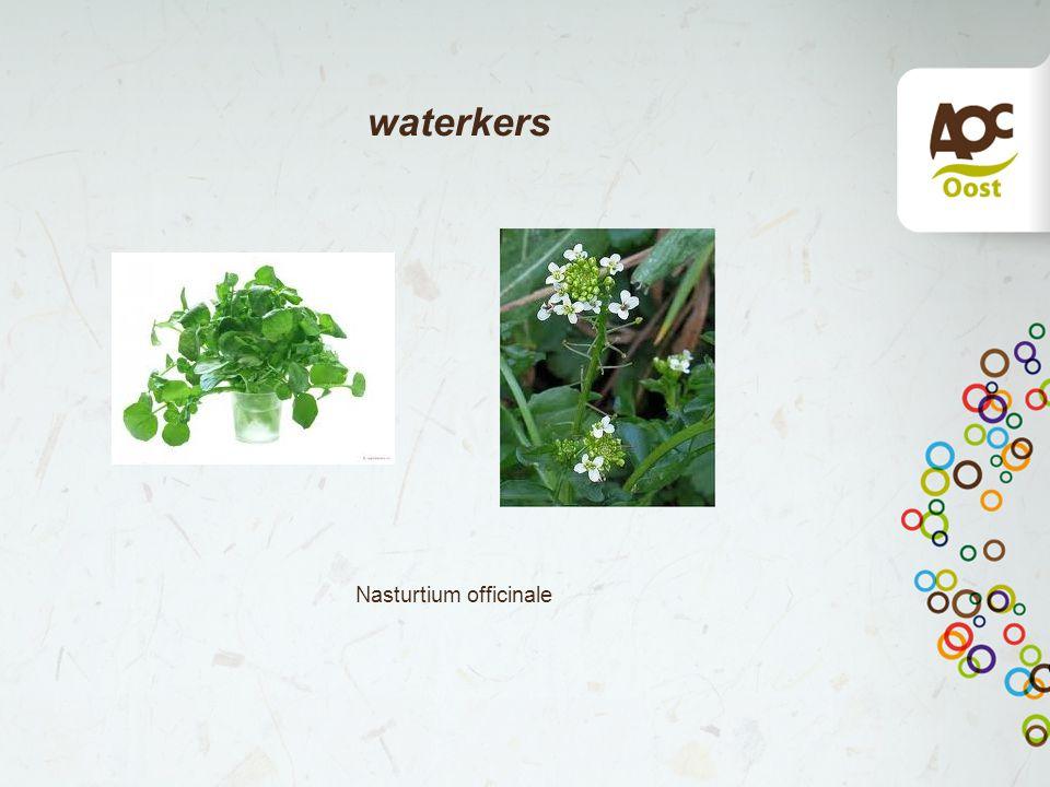waterkers Nasturtium officinale