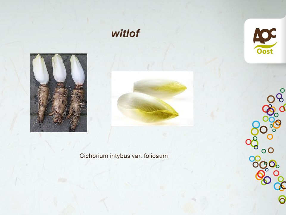witlof Cichorium intybus var. foliosum