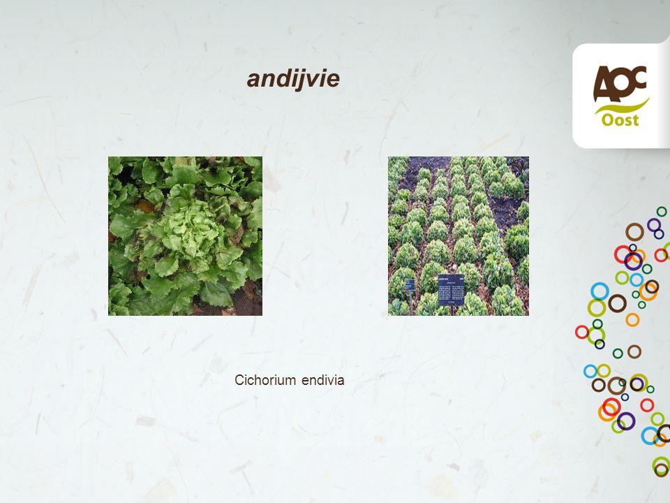 andijvie Cichorium endivia