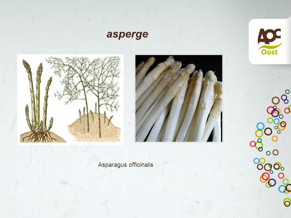 asperge Asparagus officinalis