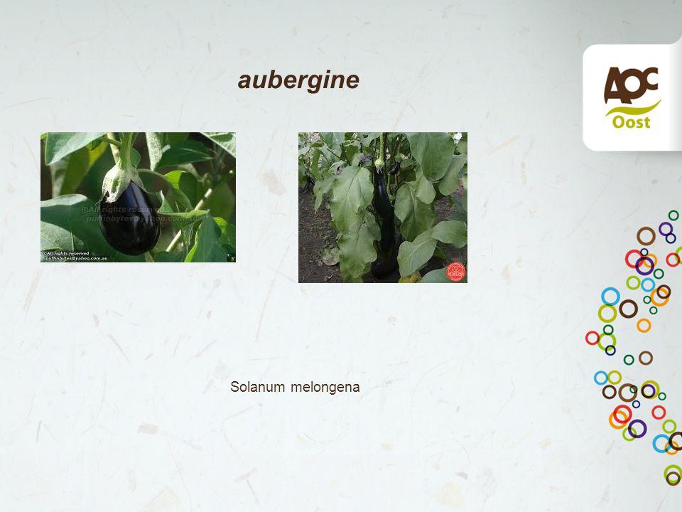 aubergine Solanum melongena