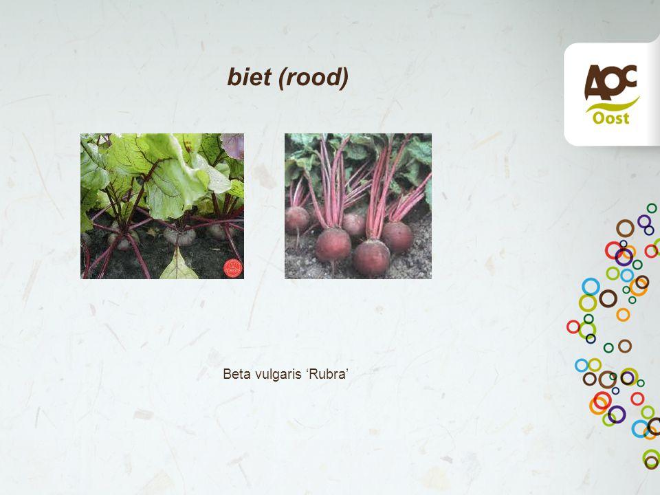 biet (rood) Beta vulgaris 'Rubra'