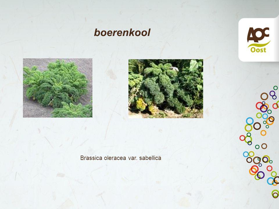 boerenkool Brassica oleracea var. sabellica