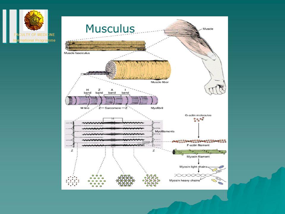 FACULTY OF MEDICINE International Programme Musculus