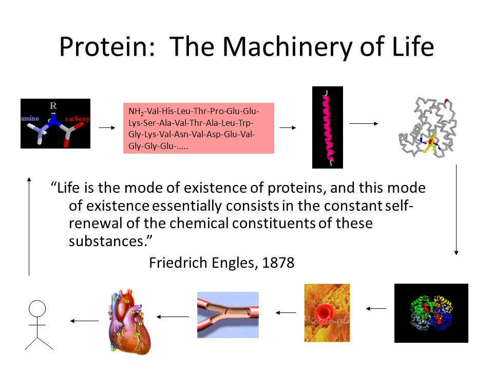 """Protein: The Machinery of Life """"Life is the mode of existence of proteins, and this mode of existence essentially consists in the constant self- renew"""