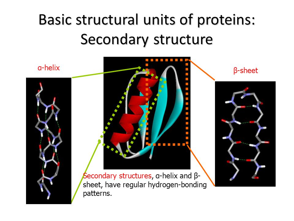 Basic structural units of proteins: Secondary structure α-helix β-sheet Secondary structures, α-helix and β- sheet, have regular hydrogen-bonding patt