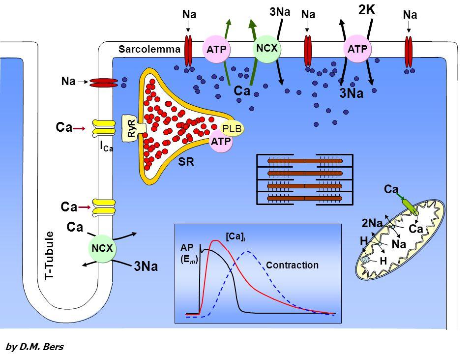 RyR 3Na Ca T-Tubule NCX Na 2K ATP NCX ATP Sarcolemma 3Na Na ATP PLB AP (E m ) [Ca] i Contraction 3Na 2K ATP Ca Na H 2Na H Cyt I Ca SR by D.M.