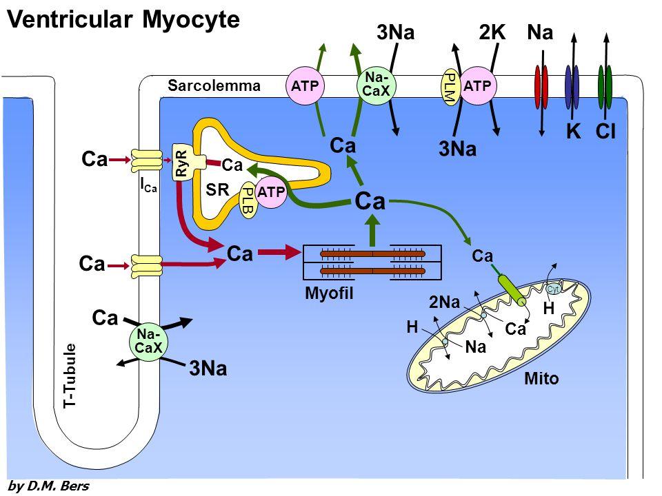 Sarcolemma I Ca Ca 3Na Myofil Ca SR RyR Ca Ventricular Myocyte 3Na Ca T-Tubule Na- CaX Na- CaX ATP PLB ATP K Na Cl Ca Na H 2Na H Cyt Mito 3Na 2K ATP PLM by D.M.