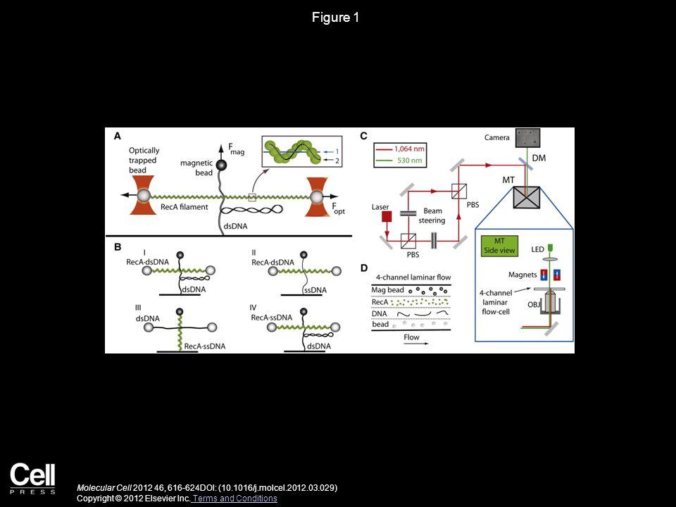 Figure 1 Molecular Cell 2012 46, 616-624DOI: (10.1016/j.molcel.2012.03.029) Copyright © 2012 Elsevier Inc.
