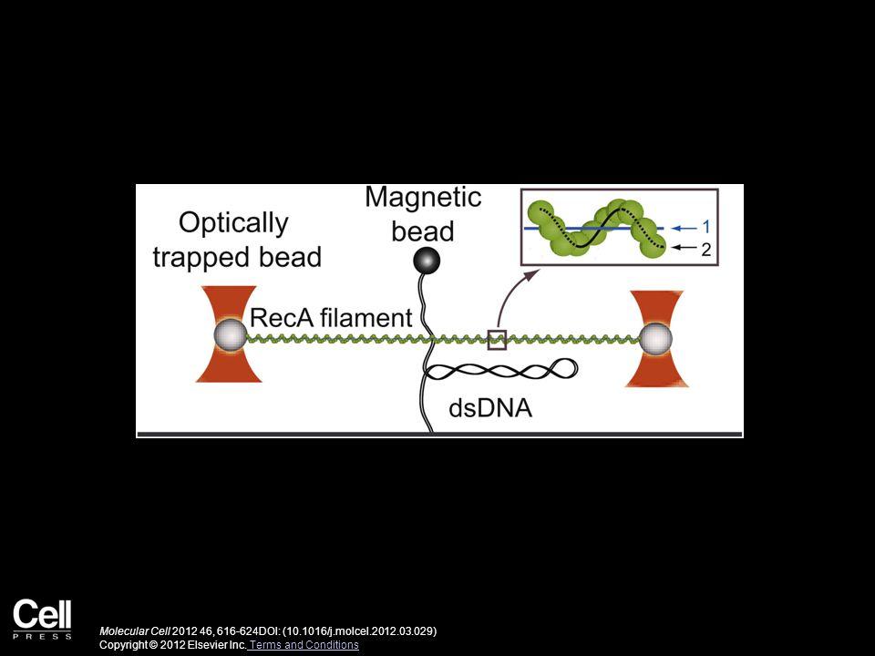 Molecular Cell 2012 46, 616-624DOI: (10.1016/j.molcel.2012.03.029) Copyright © 2012 Elsevier Inc.