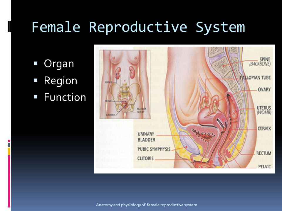 Female Reproductive System  Organ  Region  Function Anatomy and physiology of female reproductive system