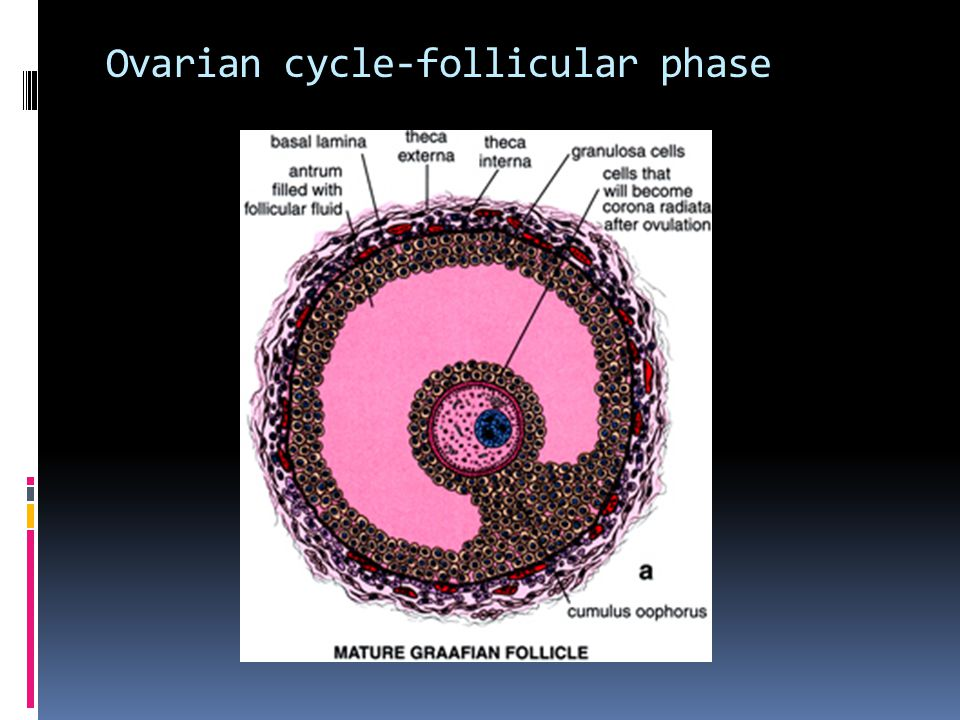 Ovarian cycle-follicular phase