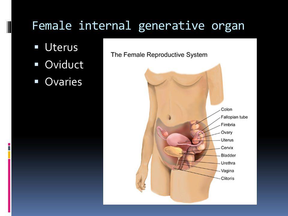 Female internal generative organ  Uterus  Oviduct  Ovaries