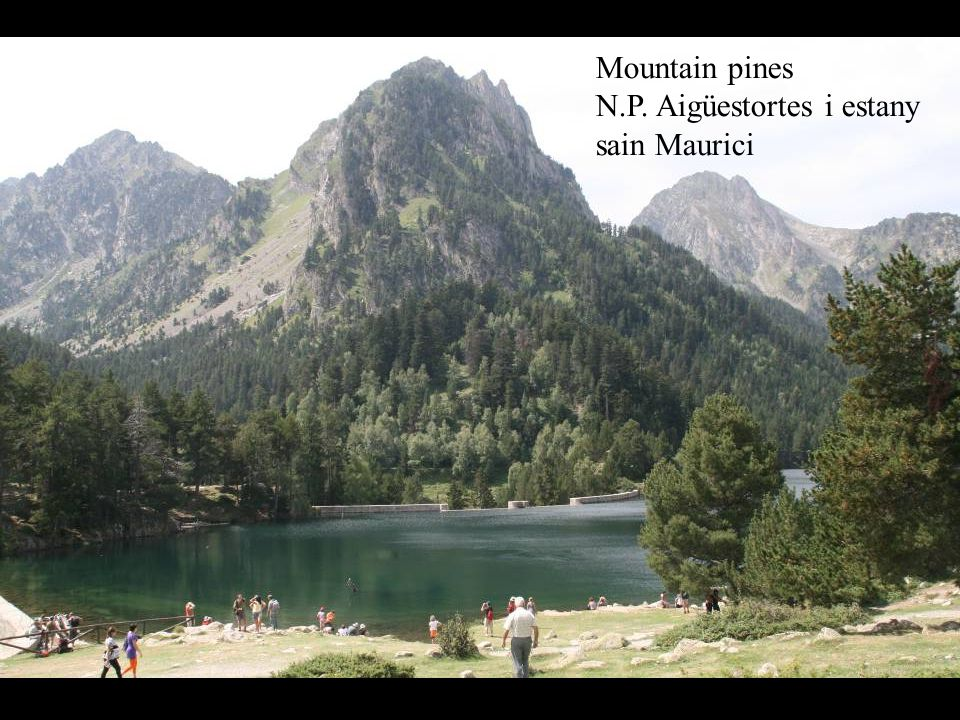 Mountain pines N.P. Aigüestortes i estany sain Maurici