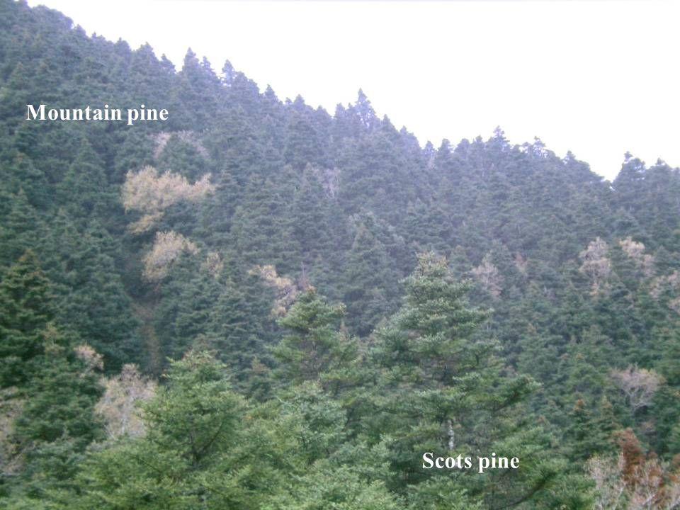 Mountain pine Scots pine