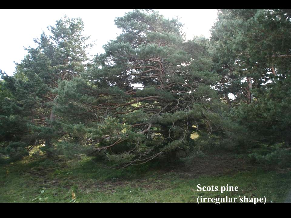 Scots pine (irregular shape)