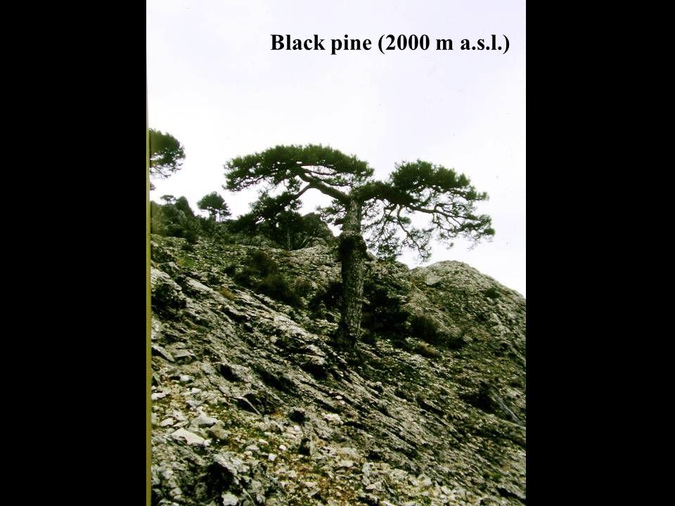 Black pine (2000 m a.s.l.)