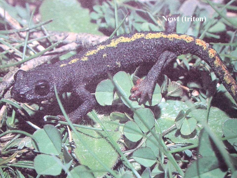 Newt (triton)