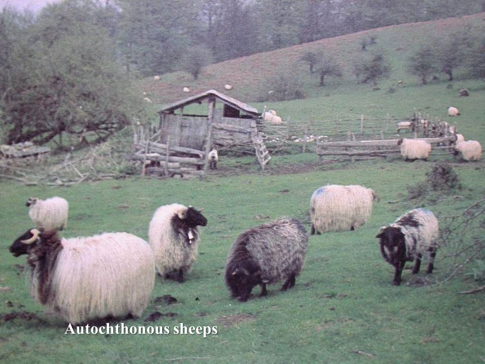 Autochthonous sheeps