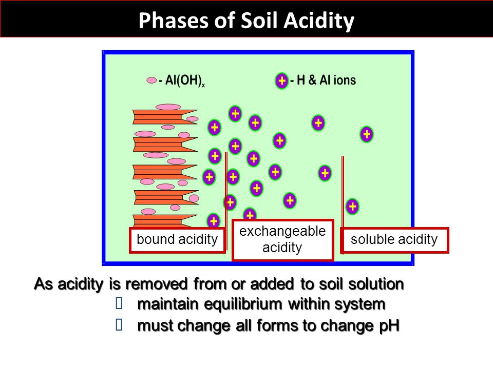 Phases of Soil Acidity bound acidity exchangeable acidity soluble acidity As acidity is removed from or added to soil solution maintain equilibrium wi