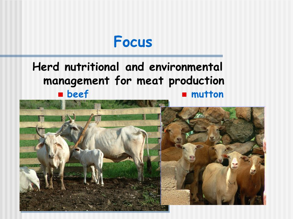 Focus Herd nutritional and environmental management for meat production beef mutton