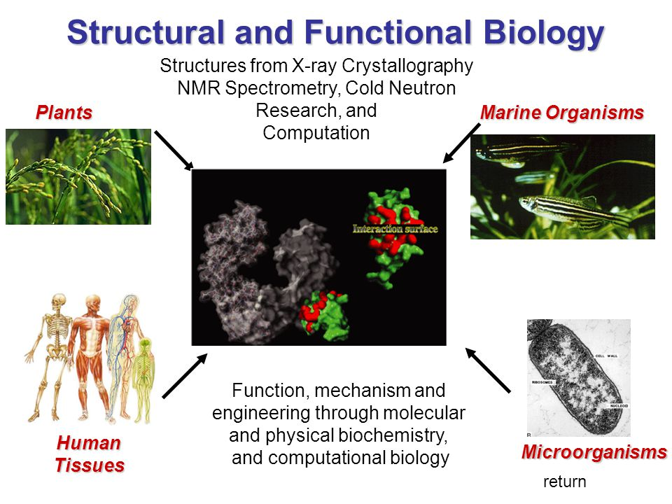 Structural and Functional Biology Plants Marine Organisms HumanTissues Microorganisms Function, mechanism and engineering through molecular and physical biochemistry, and computational biology Structures from X-ray Crystallography NMR Spectrometry, Cold Neutron Research, and Computation return