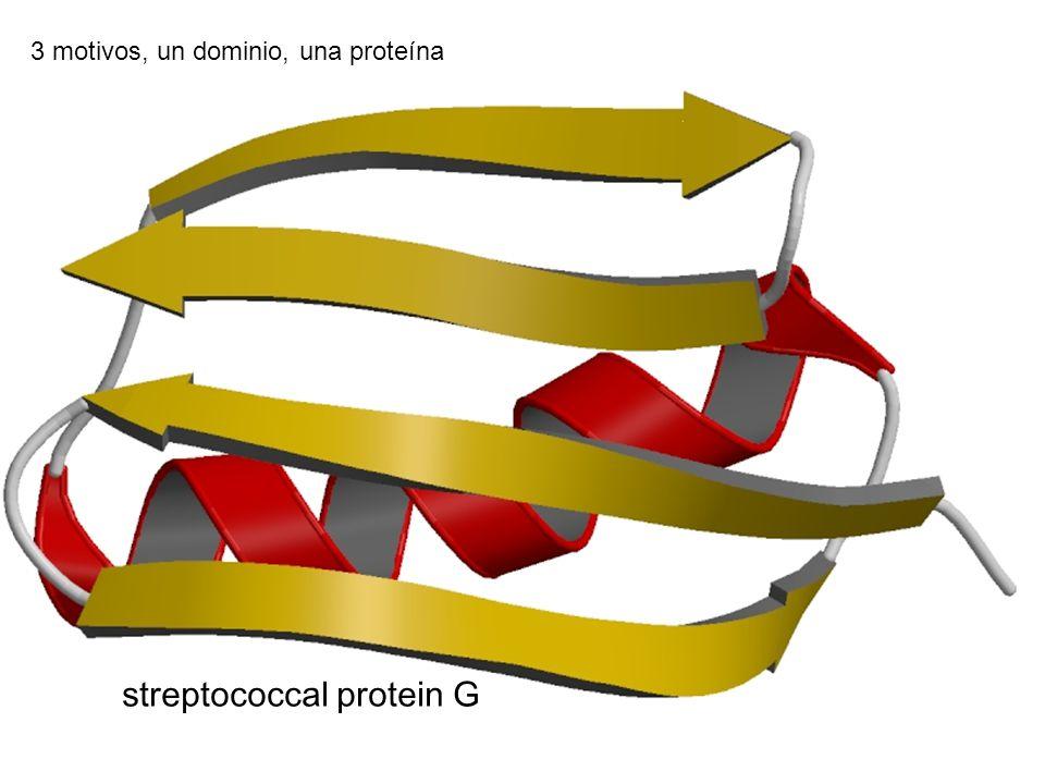 streptococcal protein G 3 motivos, un dominio, una proteína