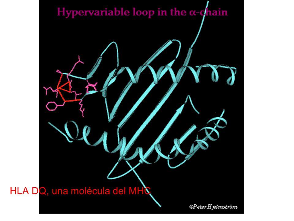 HLA DQ, una molécula del MHC