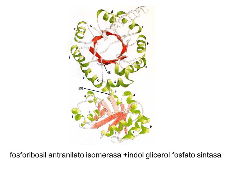 fosforibosil antranilato isomerasa +indol glicerol fosfato sintasa