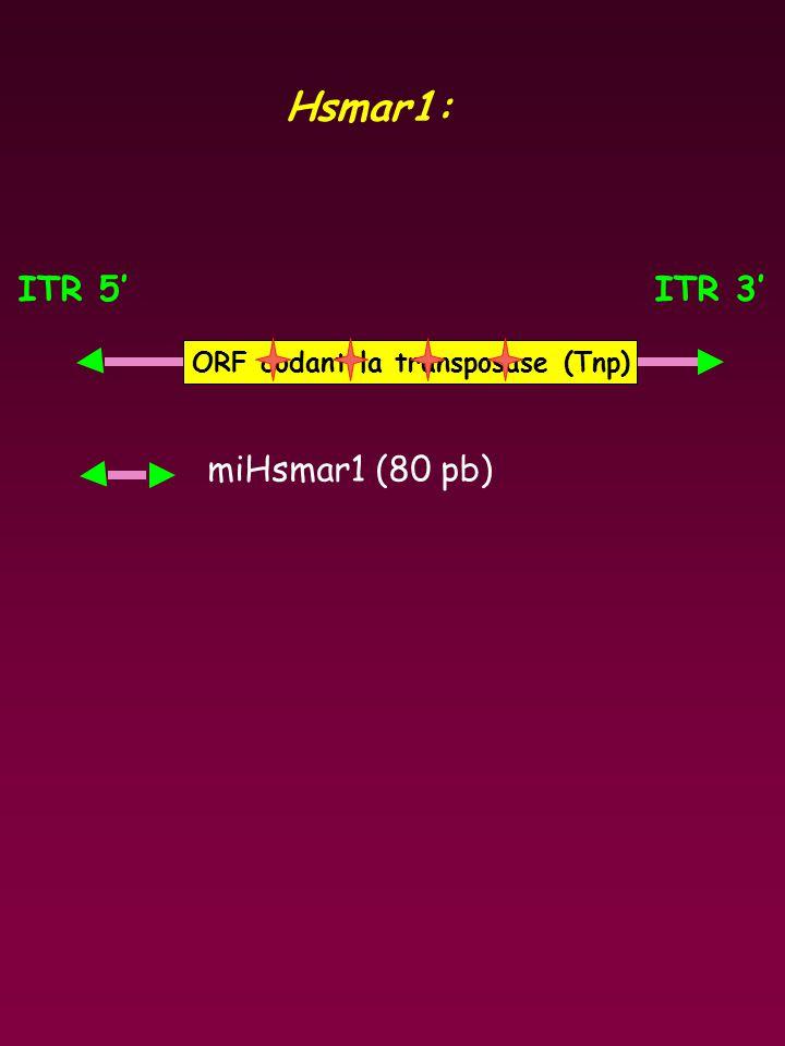 ITR 5'ITR 3' ORF codant la transposase (Tnp) Hsmar1: miHsmar1 (80 pb)