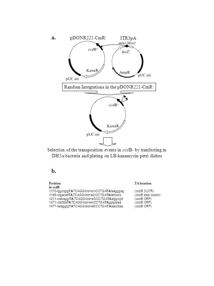 b. PositionTA location in ccdB 1170-tggctgtgTATCAGG/clone1/CCTGATAtaagggag (ccdB 3'UTR) 1189-ctgacattTATCAGG/clone2/CCTGATAtattcccc (ccdB stop codon)