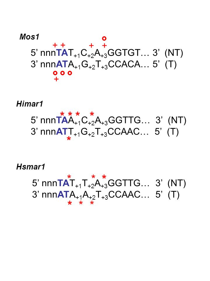 + 5' nnnTAT +1 C +2 A +3 GGTGT… 3' (NT) 3' nnnATA +1 G +2 T +3 CCACA… 5' (T)       + Mos1 5' nnnTAA +1 C +2 A +3 GGTTG… 3' (NT) 3' nnnATT +1 G