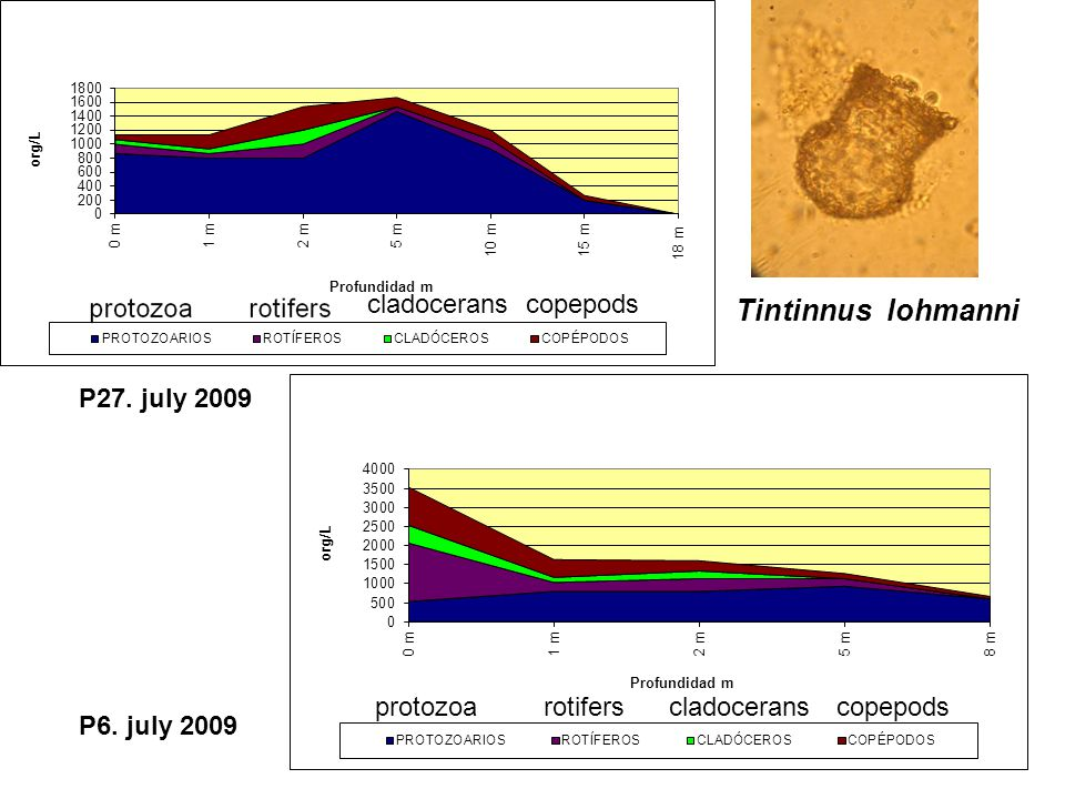 P27. july 2009 P6. july 2009 Tintinnus lohmanni protozoarotifers cladocerans copepods