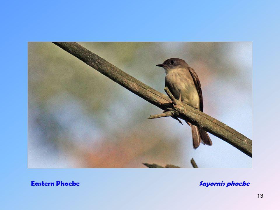 12 Eastern Bluebird (m+f)Sialia sialis