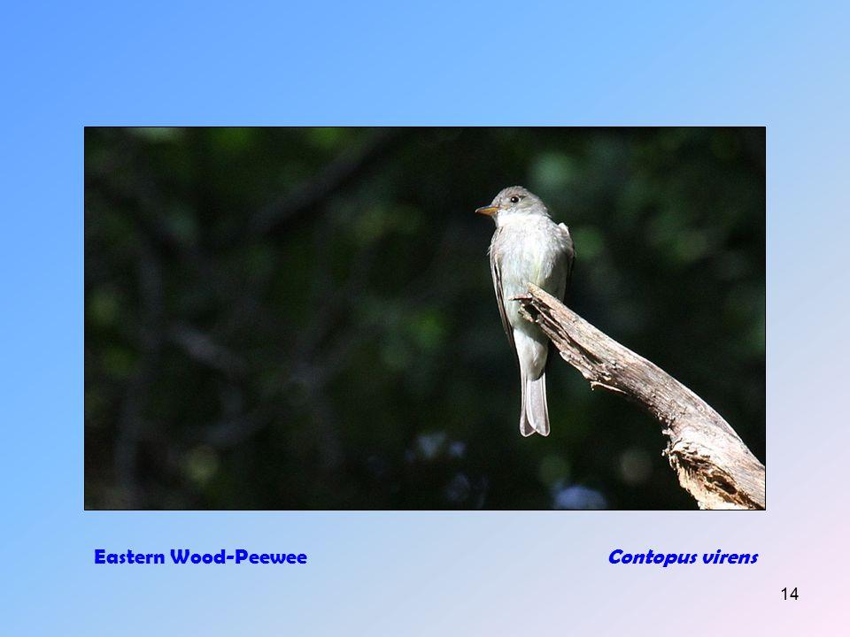 13 Eastern PhoebeSayornis phoebe