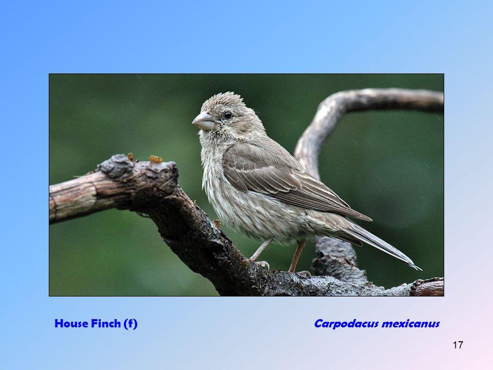 16 Gray CatbirdDumetelia carolinensis