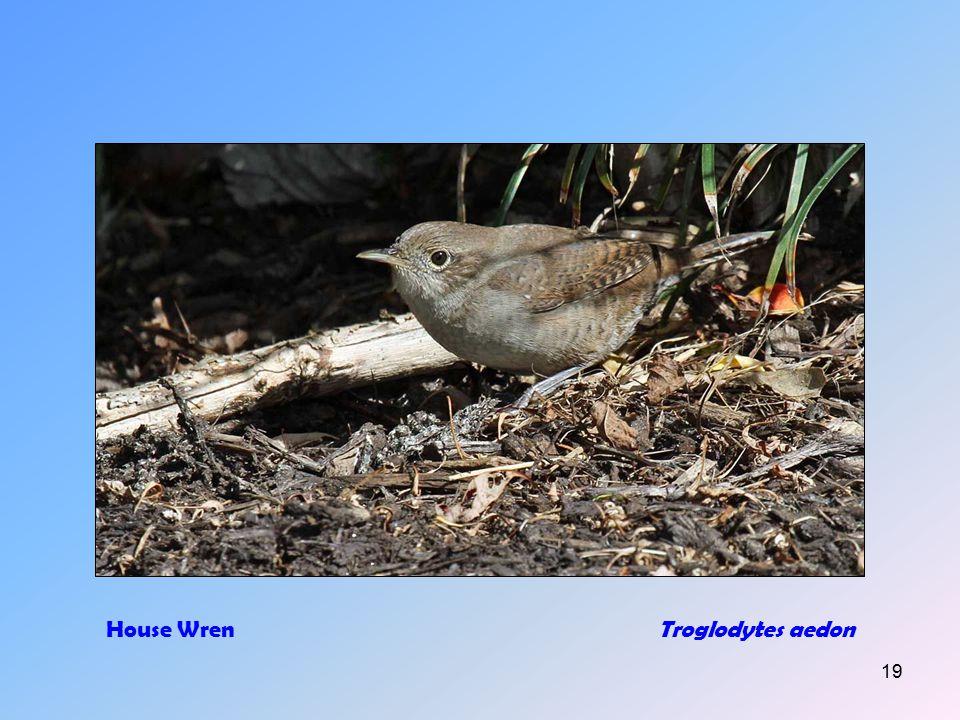 18 House Sparrow (m+f)Passer domesticus