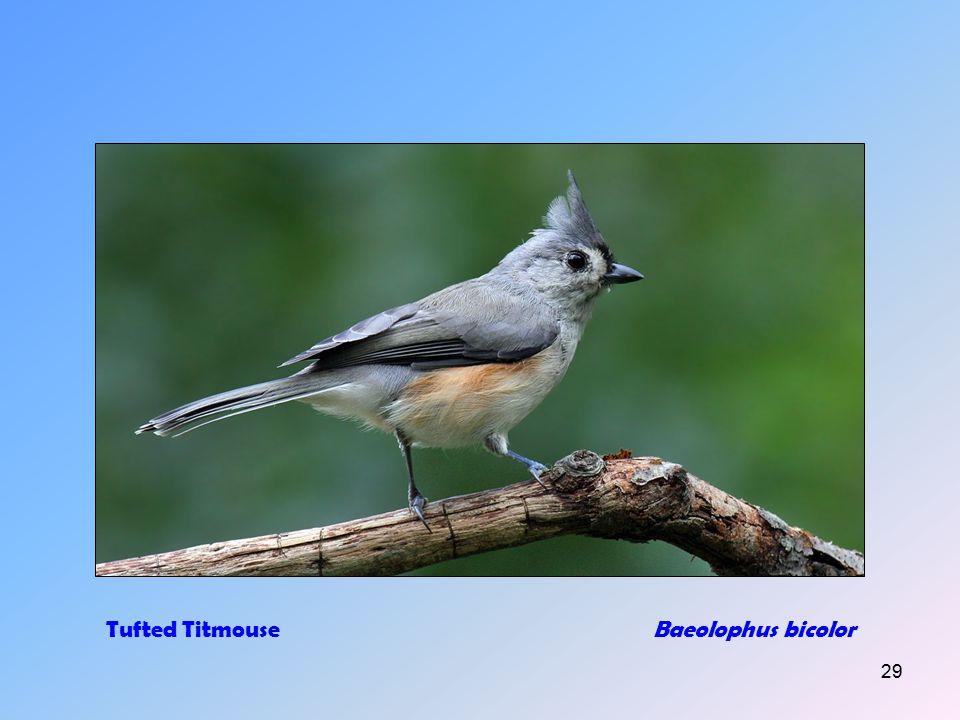 28 Song SparrowMelospiza melodia