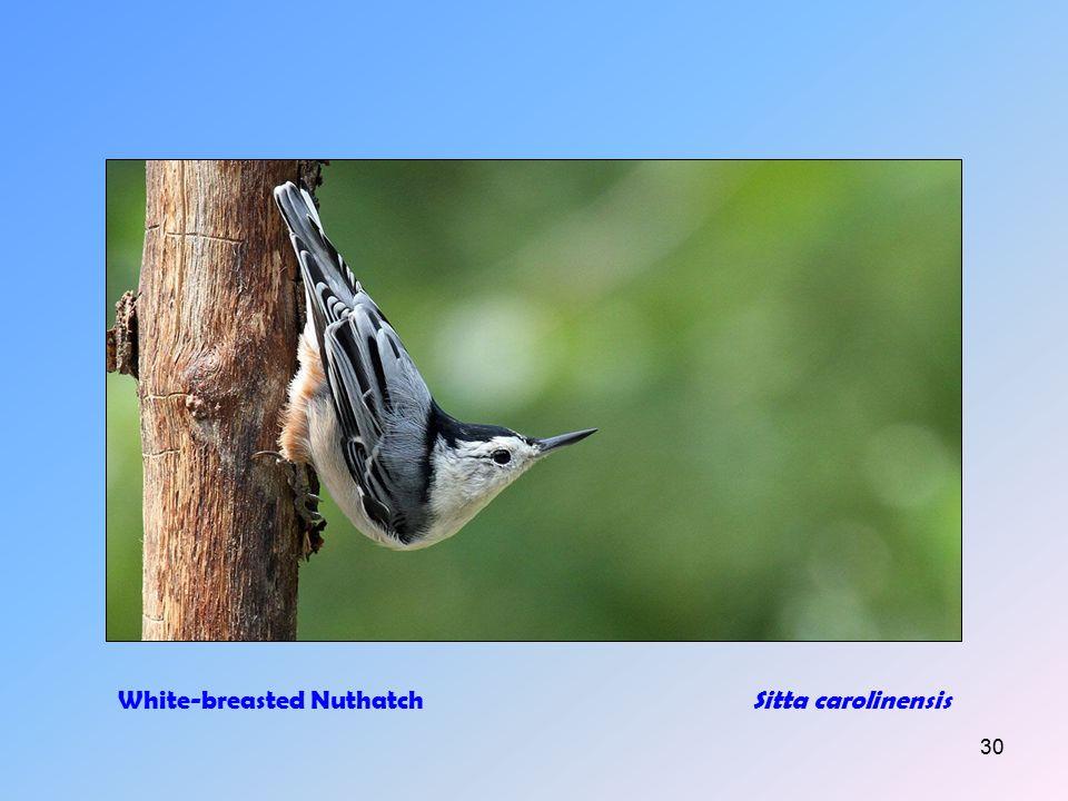 29 Tufted TitmouseBaeolophus bicolor