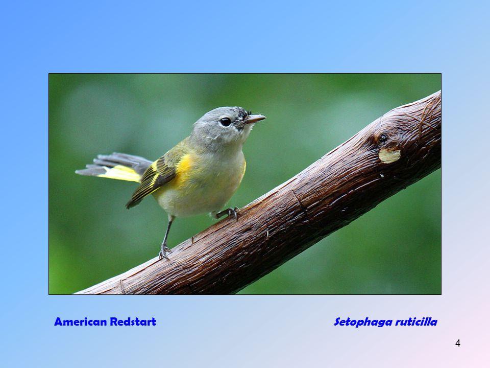 3 American Goldfinch (m+f)Carduelis tristis
