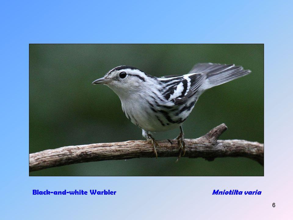 5 American RobinTurdus migratorius