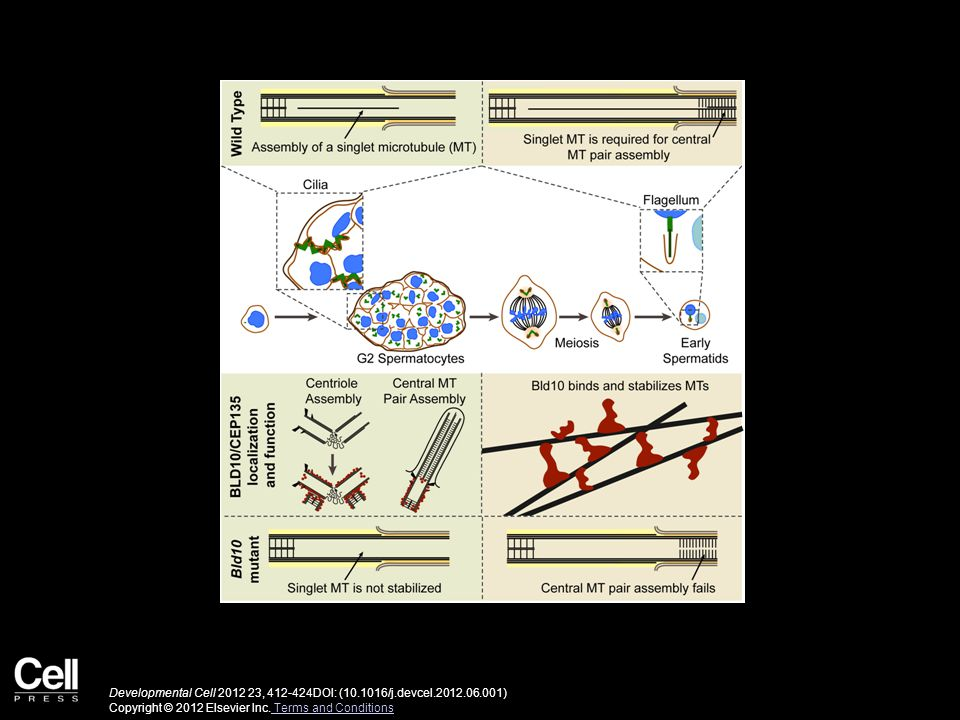 Developmental Cell 2012 23, 412-424DOI: (10.1016/j.devcel.2012.06.001) Copyright © 2012 Elsevier Inc.