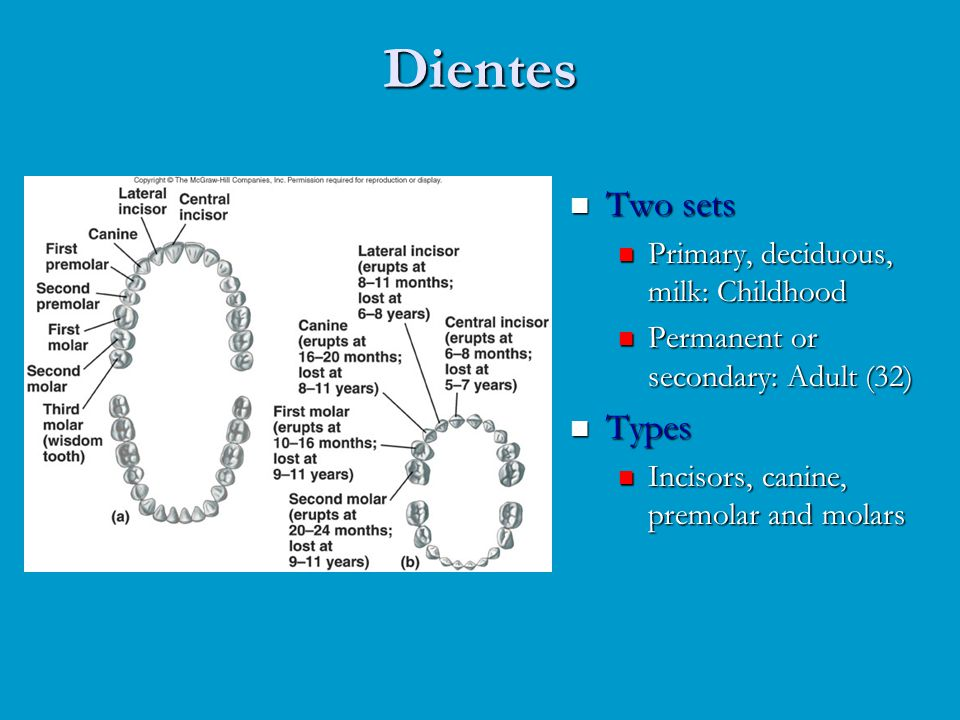 Dientes Two sets Primary, deciduous, milk: Childhood Permanent or secondary: Adult (32) Types Incisors, canine, premolar and molars
