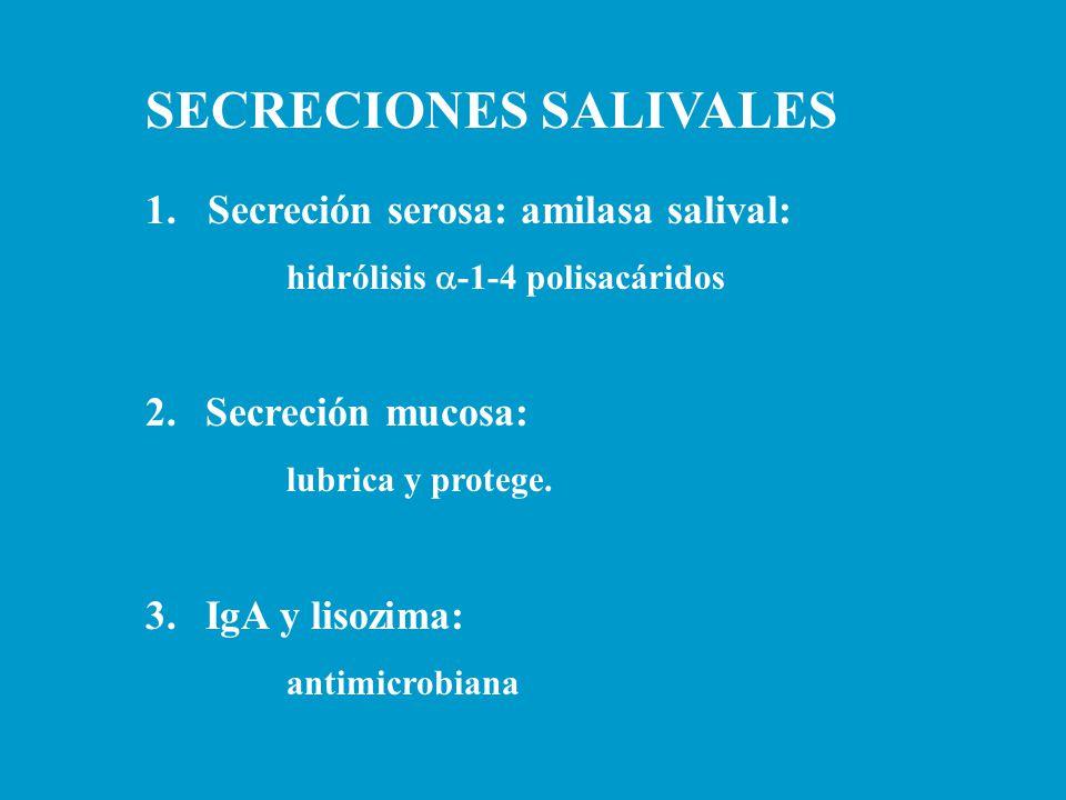 SECRECIONES SALIVALES 1. Secreción serosa: amilasa salival: hidrólisis  -1-4 polisacáridos 2.Secreción mucosa: lubrica y protege. 3.IgA y lisozima: a