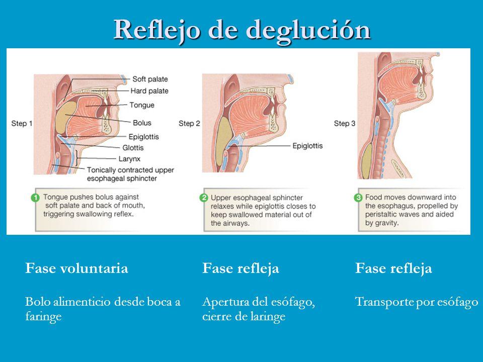 Reflejo de deglución Fase voluntaria Bolo alimenticio desde boca a faringe Fase refleja Apertura del esófago, cierre de laringe Fase refleja Transport