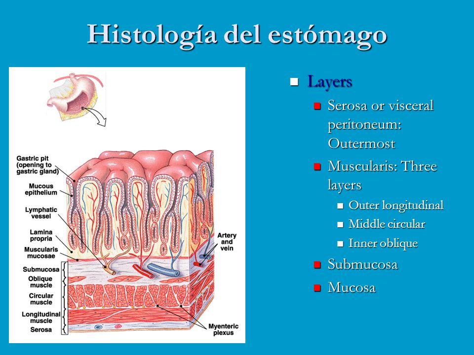 Histología del estómago Layers Serosa or visceral peritoneum: Outermost Muscularis: Three layers Outer longitudinal Middle circular Inner oblique Subm