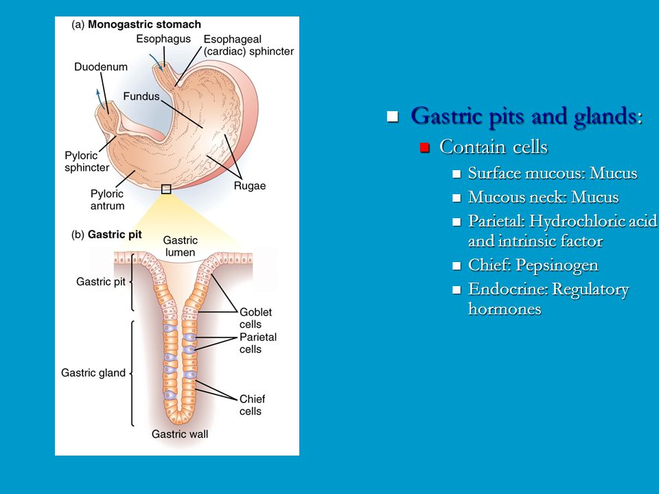 Gastric pits and glands: Contain cells Surface mucous: Mucus Mucous neck: Mucus Parietal: Hydrochloric acid and intrinsic factor Chief: Pepsinogen End