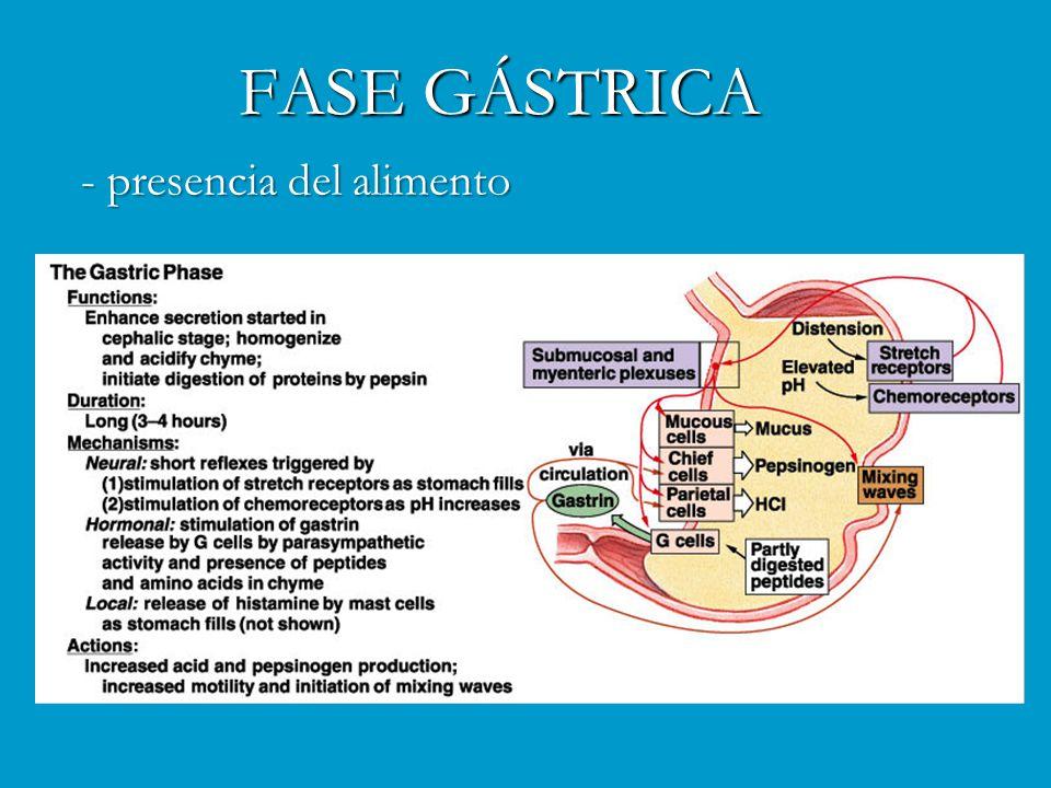 FASE GÁSTRICA - presencia del alimento