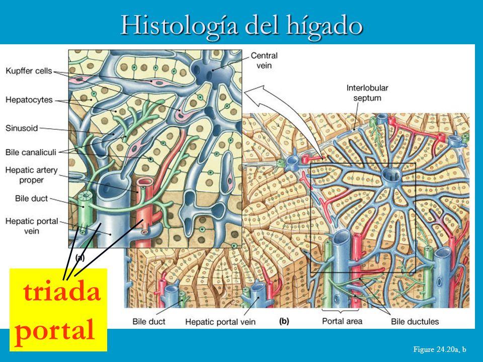 Figure 24.20a, b Histología del hígado triada portal