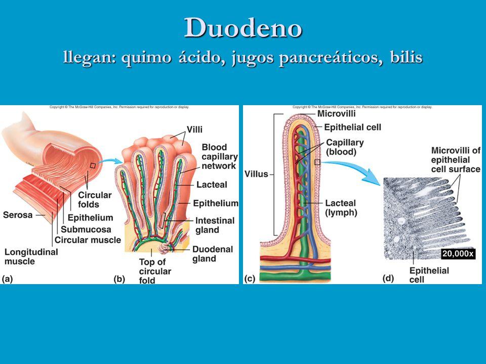 Duodeno llegan: quimo ácido, jugos pancreáticos, bilis